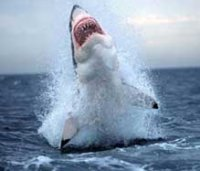 ...чем любые другие результаты, полученные путём точных измерений.  Акула из Нью-Брансуик.