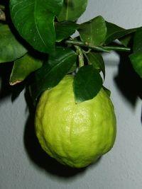 200px-citrus_medicus_fruit.jpg