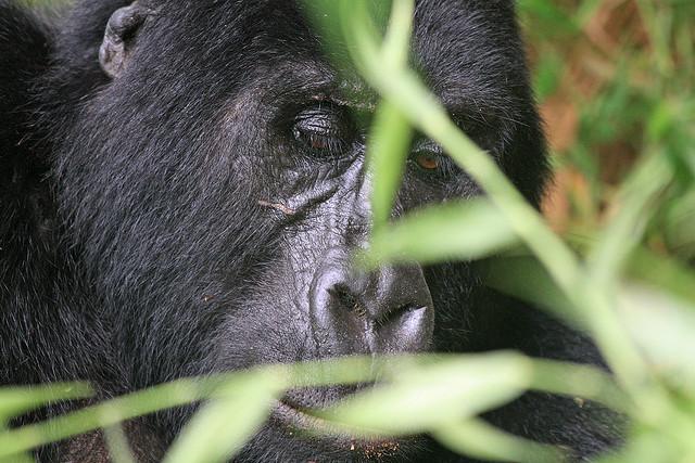 Gorilla fotografert i Bwindi impenetrable forest, dit turen går i høst. Kilde: Guido da Rozze (cc)